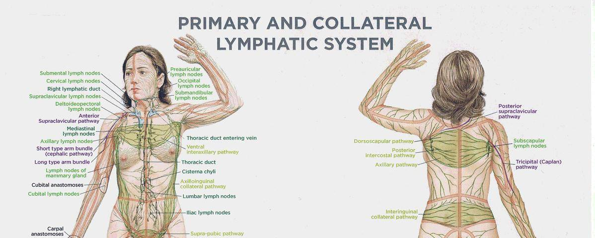Banner Image for The Importance of a Healthy Lymphatic System