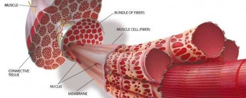 illustration of muscle fiber